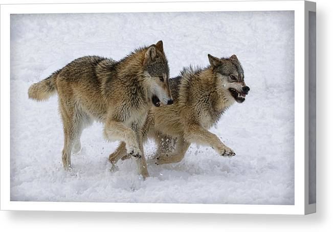 Wolf Canvas Print featuring the photograph The Attack by Steve McKinzie