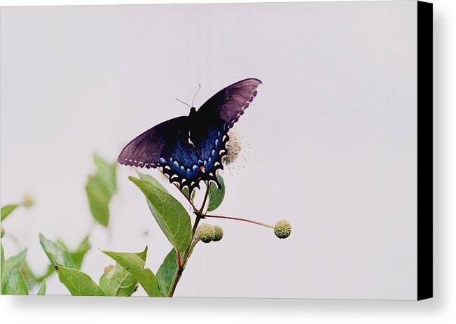 Butterfly Canvas Print featuring the photograph 080706-5 by Mike Davis