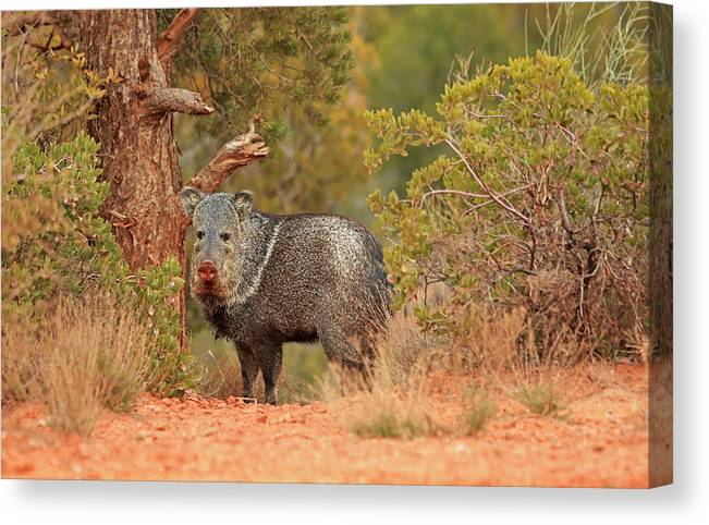 Javelina Canvas Print featuring the photograph Sedona Javelina by Donna Kennedy