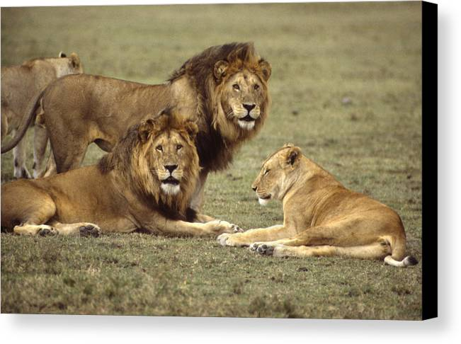 Lion Canvas Print featuring the photograph Lions Tanzania by John Wolf