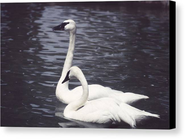 Swan Canvas Print featuring the photograph 92347-8 by Mike Davis