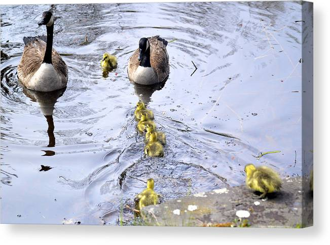 Wild Geese Babies Bird Goslings River Spring Maine Canvas Print featuring the photograph New Spring Baby Geese by Sheila Price