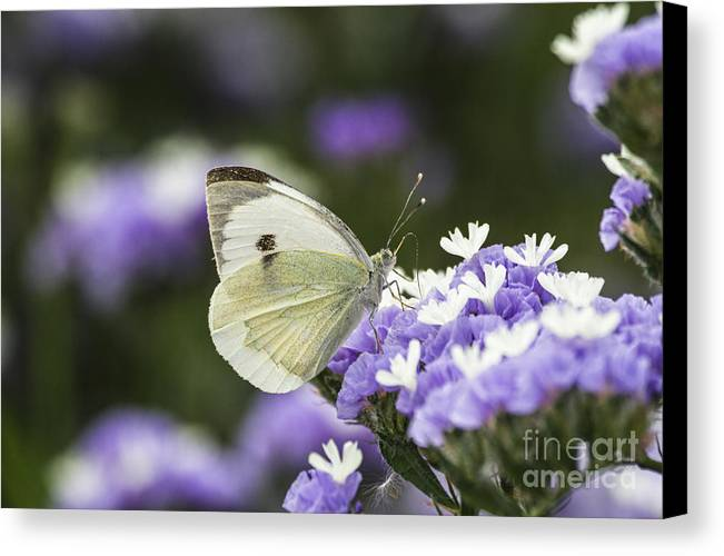 Large White Canvas Print featuring the photograph Large White Pieris Brassicae by Eyal Bartov