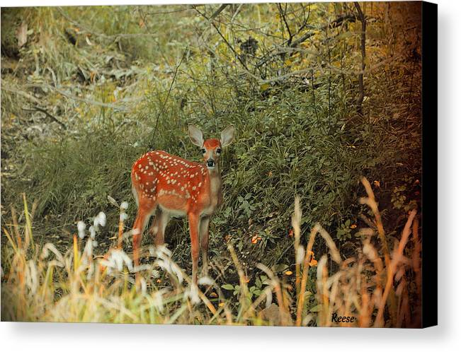 Deer Canvas Print featuring the photograph You Looking At Me? 2 by Reese Lewis