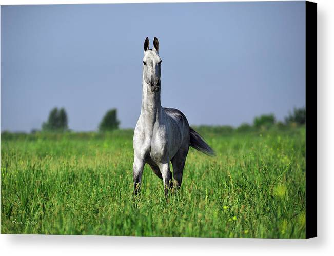 Horses Canvas Print featuring the photograph Akdagly by Artur Baboev