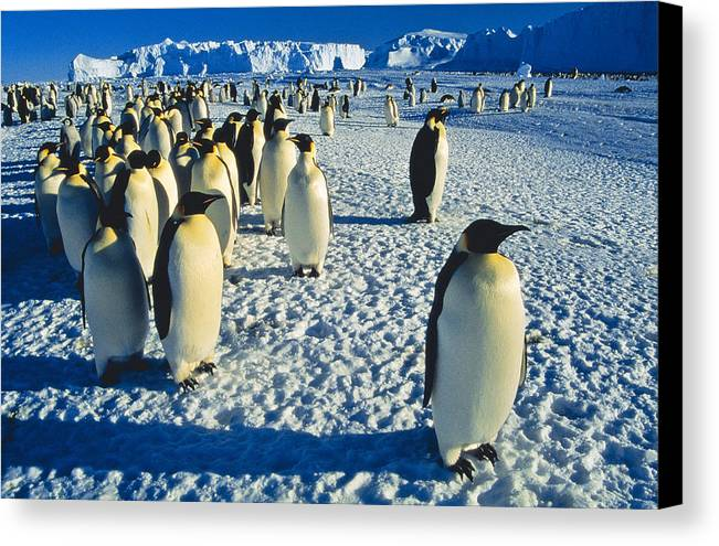 Antarctica Canvas Print featuring the photograph Emperors by Andy Townsend