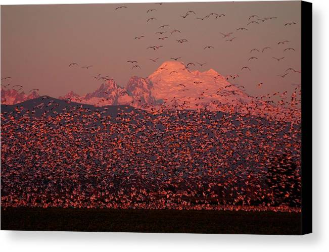 Geese Canvas Print featuring the photograph Mt Baker Snow Geese by Owen Ashurst