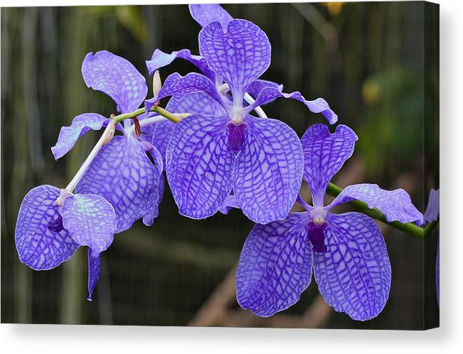 Flower Canvas Print featuring the photograph Orchid by Theo Tan