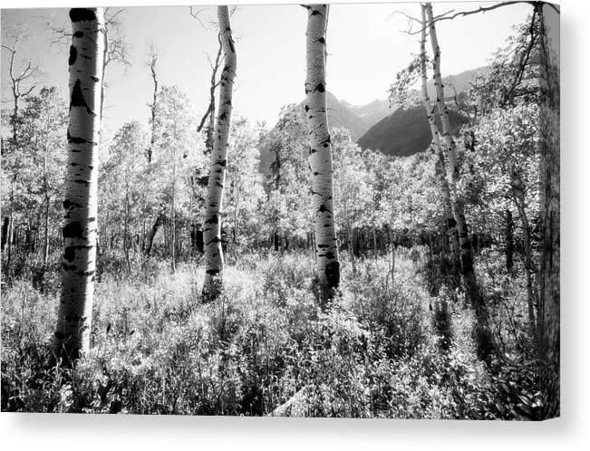 Landscape Canvas Print featuring the photograph Aspens Black And White by Caroline Clark