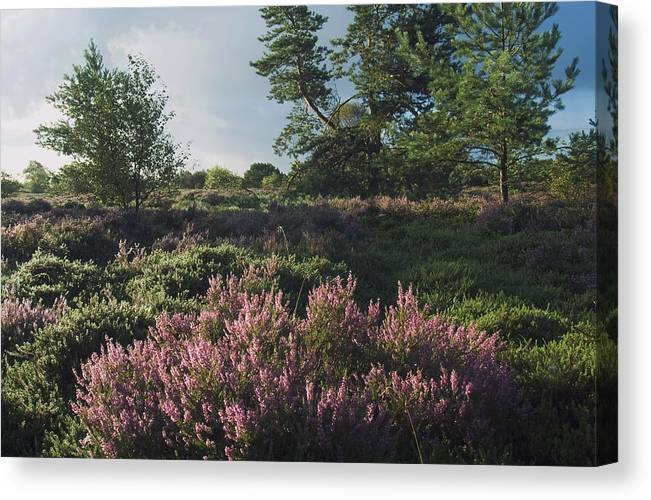 Denmark Canvas Print featuring the photograph Blossoming Jutlandic Heath by Wedigo Ferchland