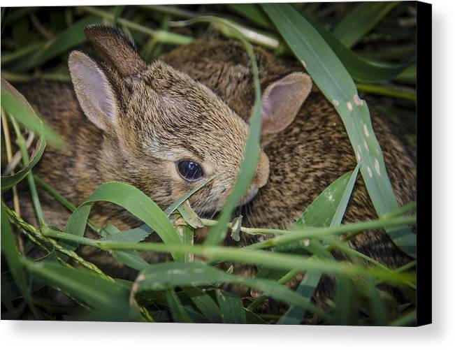 Bunny Canvas Print featuring the photograph Bunny Twins by Bradley Clay