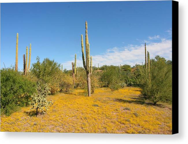 Landscapes Canvas Print featuring the photograph Cordon Cactus And Yellow Wildflowers by Robert McKinstry