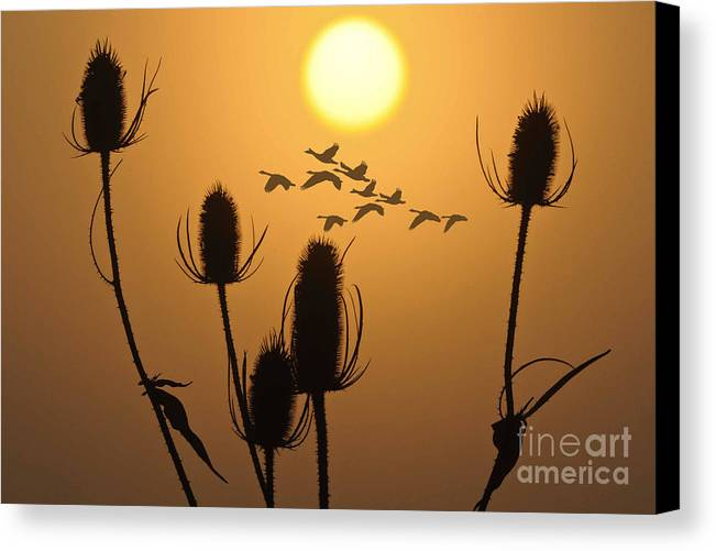 Geese Canvas Print featuring the photograph Early Flight by Ray G Foster