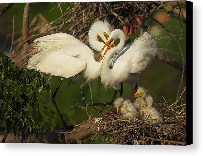 Great Egret Canvas Print featuring the photograph Great Egret 2am-7177 by Andrew McInnes