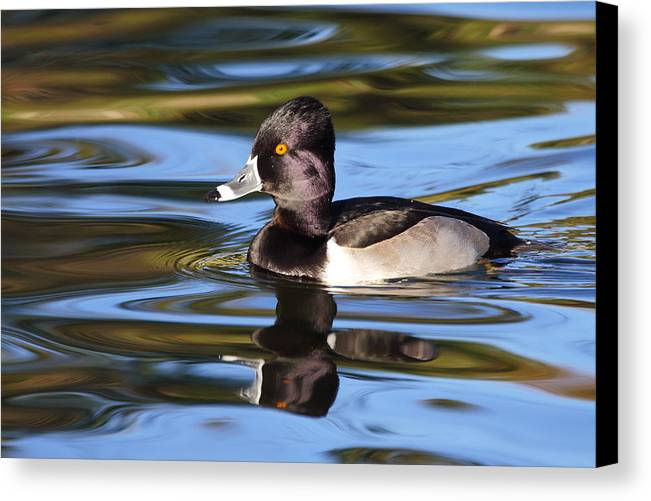 Ring-necked Duck Canvas Print featuring the photograph Rings Around Ring-necked Duck by Andrew McInnes