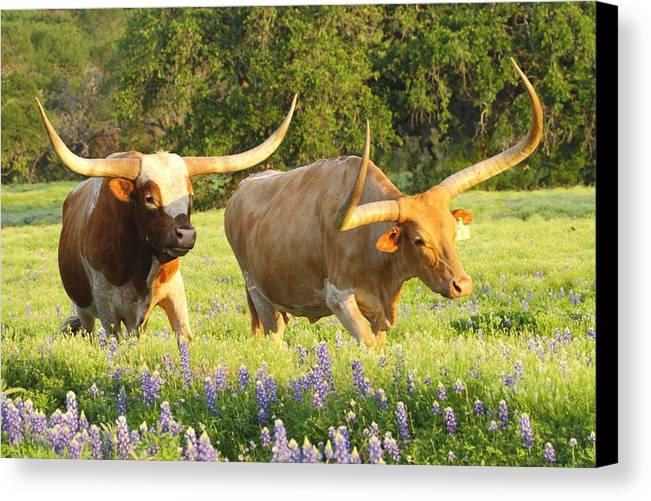 Texas Longhorn Cattle Canvas Print / Canvas Art by Andrew McInnes