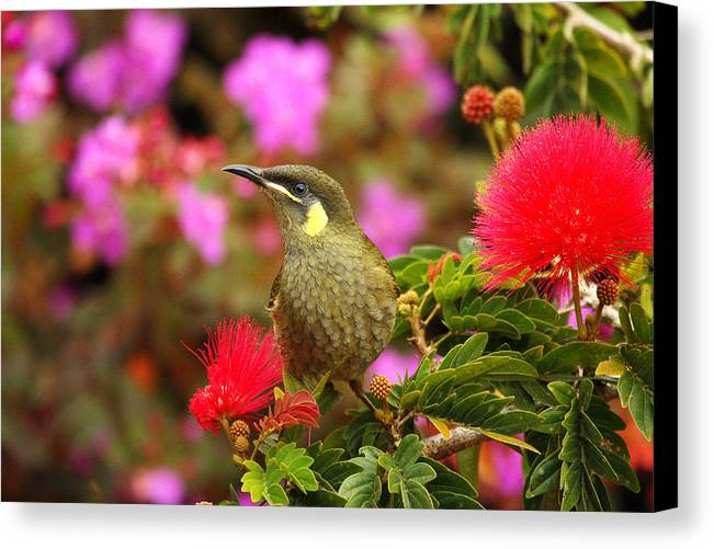 Graceful Honeyeater Canvas Print featuring the photograph Graceful Honeyeater by Andrew McInnes
