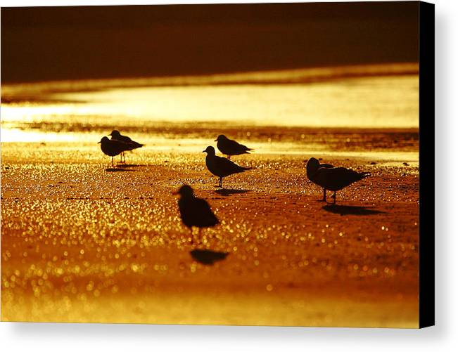 Silver Gull Canvas Print featuring the photograph Silver Gulls On Golden Beach by Andrew McInnes