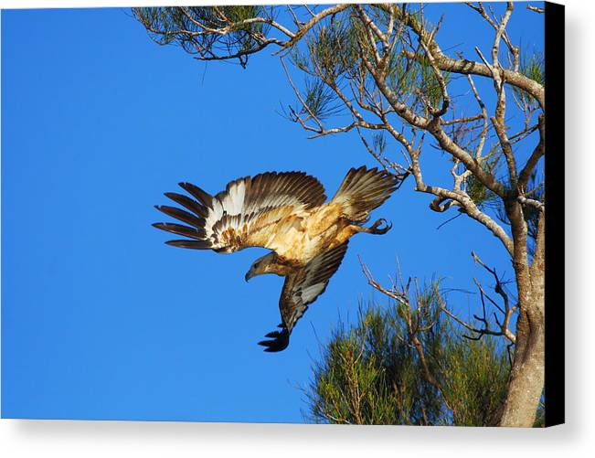 Wedge-tailed Eagle Canvas Print featuring the photograph Wedge-tailed Eagle by Andrew McInnes