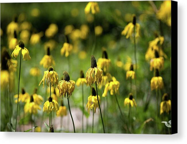 California Canvas Print featuring the photograph Yosemite Coneflowers by Peter Tellone