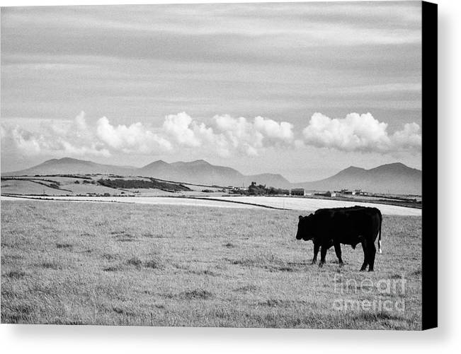 Free Canvas Print featuring the photograph Free Range Beef Cattle On Open Farmland Anglesey North Wales Uk by Joe Fox