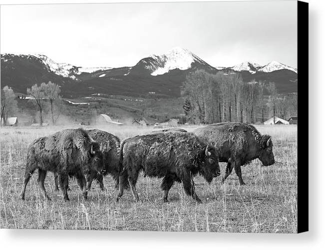 Buffalo Canvas Print featuring the photograph Western Mozy by Kiel Rucker