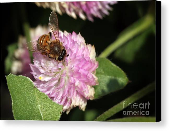 Bee Canvas Print featuring the photograph Bee On Gomphrena by Jeannie Burleson