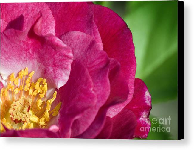 Rose Canvas Print featuring the photograph Bright Rose Bloom by Jeannie Burleson