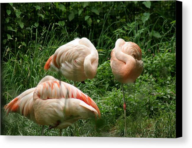Bird Canvas Print featuring the photograph Flamingo's At Rest by ShadowWalker RavenEyes Dibler