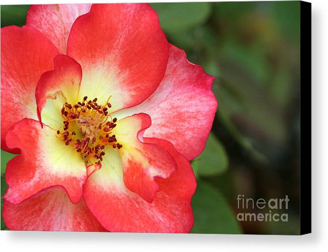 Rose Canvas Print featuring the photograph Full Bloom by Jeannie Burleson