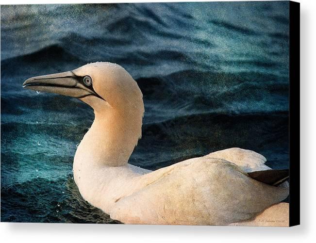 Gannet Canvas Print featuring the photograph Gannet Swim by WB Johnston