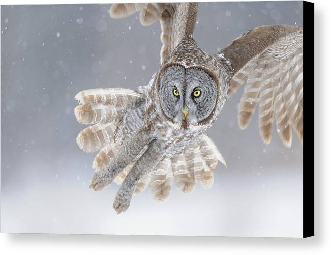 Great Canvas Print featuring the photograph Great Grey Owl In Snowstorm by Scott Linstead