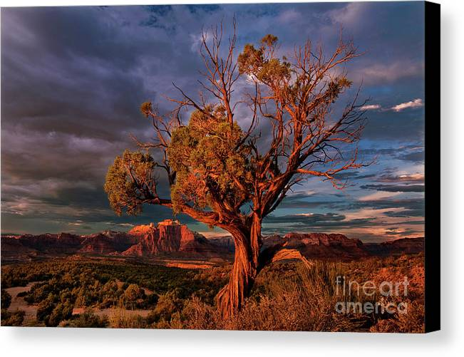 Davw Welling Canvas Print featuring the photograph Juniper And Storm Back Of Zion National Park Utah by Dave Welling