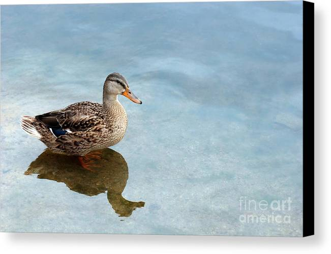 Duck Canvas Print featuring the photograph Morning Swim by Jeannie Burleson