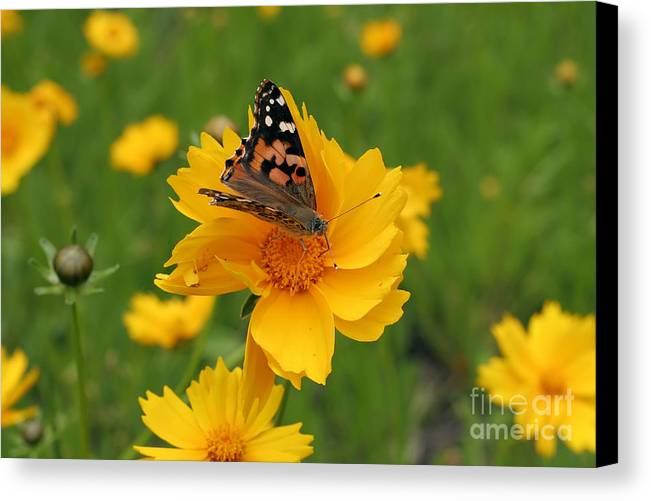 Painted Canvas Print featuring the photograph Painted Lady Butterfly by Jeannie Burleson