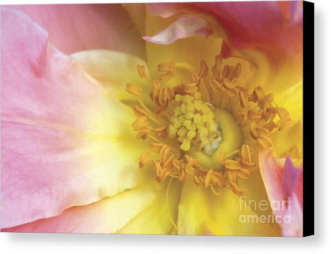 Pale Canvas Print featuring the photograph Rose Bloom by Jeannie Burleson