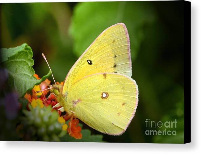 Yellow Canvas Print featuring the photograph Sipping Nectar by Jeannie Burleson