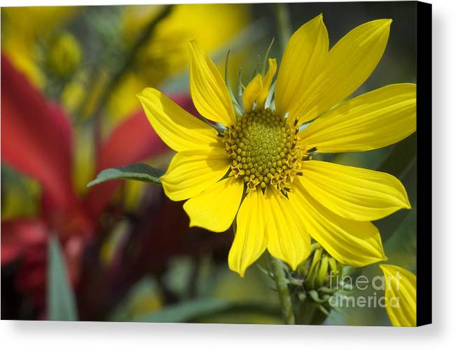 Yellow Canvas Print featuring the photograph Sunny Blooms by Jeannie Burleson