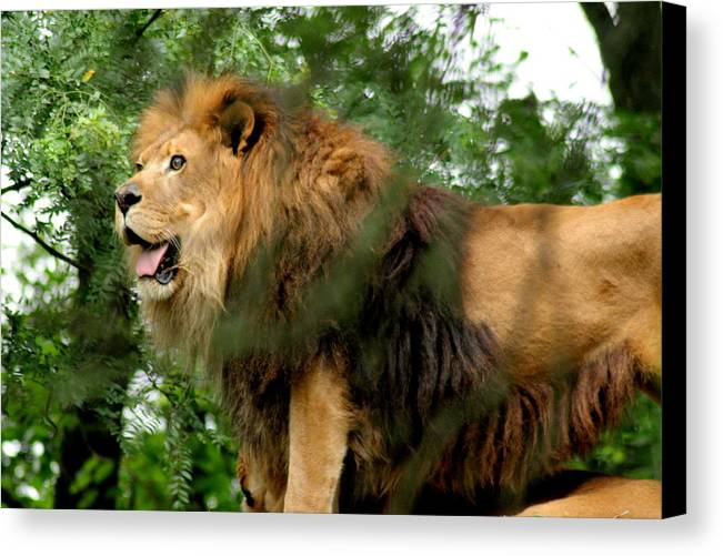 Lion Canvas Print featuring the photograph The True King by ShadowWalker RavenEyes Dibler