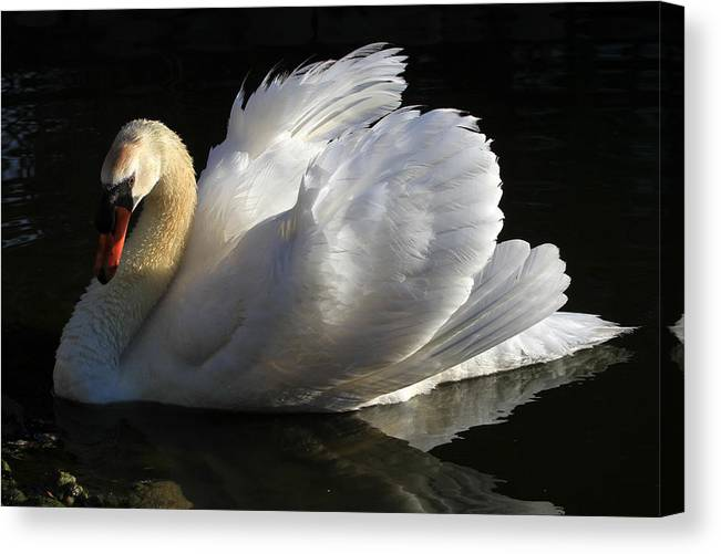 Swan Canvas Print featuring the photograph Beautiful Display by Donna Kennedy