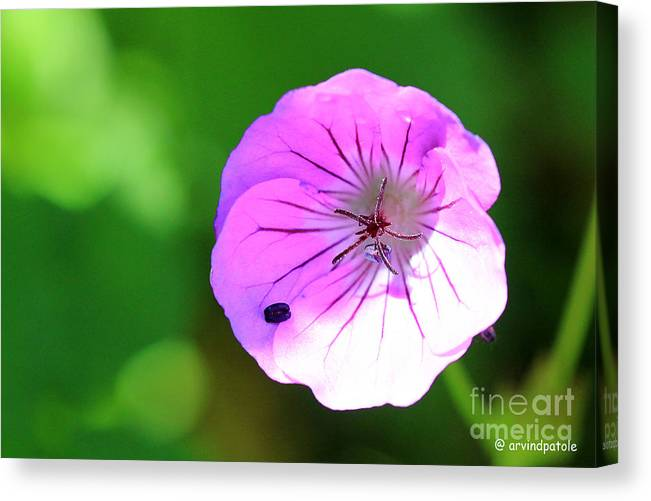 Valley Of Flowers Canvas Print featuring the photograph Flowers Of Uttarakand by Arvind Patole