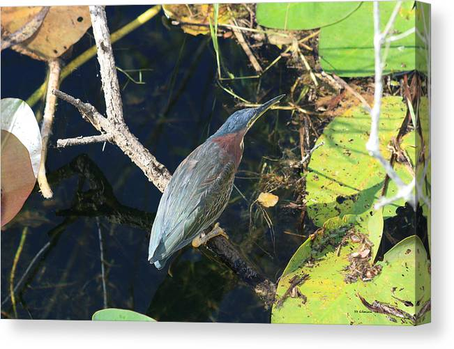 Green Heron Canvas Print featuring the photograph Green Heron by DD Edmison