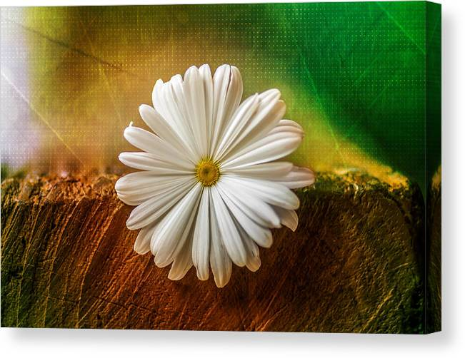 Flora Canvas Print featuring the photograph Disappearing Daisy by Gene Hilton