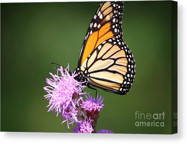 Butterfly Canvas Print featuring the photograph Life by Lindsay Felty