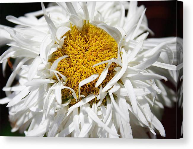 Daisy Canvas Print featuring the photograph Dreams by Carol Hicks