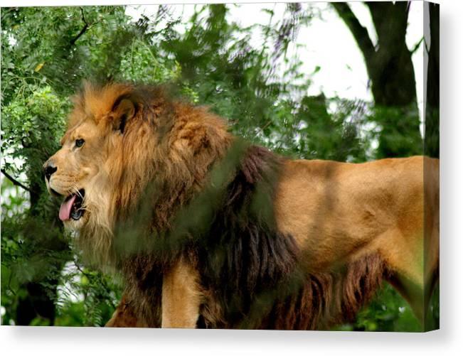 Lion Canvas Print featuring the photograph Endless Pride by ShadowWalker RavenEyes Dibler