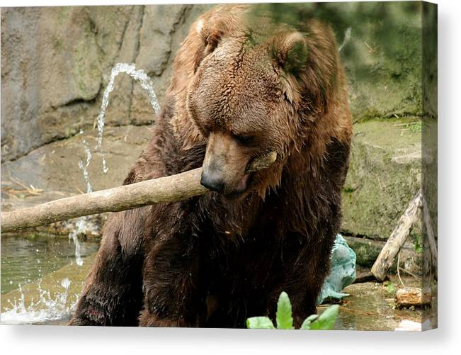 Grizzly Canvas Print featuring the photograph Grizzling Around by ShadowWalker RavenEyes Dibler