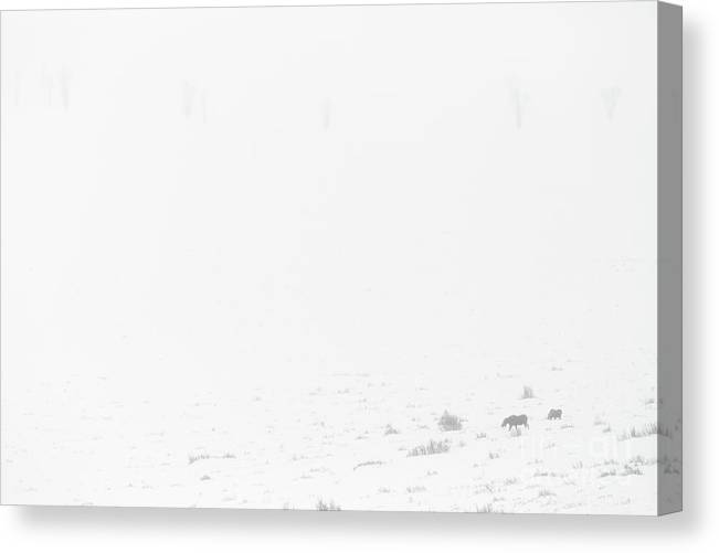 Antelope Flats Canvas Print featuring the photograph Moose And Calf In Blizzard by Mike Cavaroc