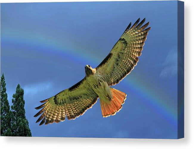 Red Tail Hawk Canvas Print featuring the photograph Wings 2 by Donna Kennedy