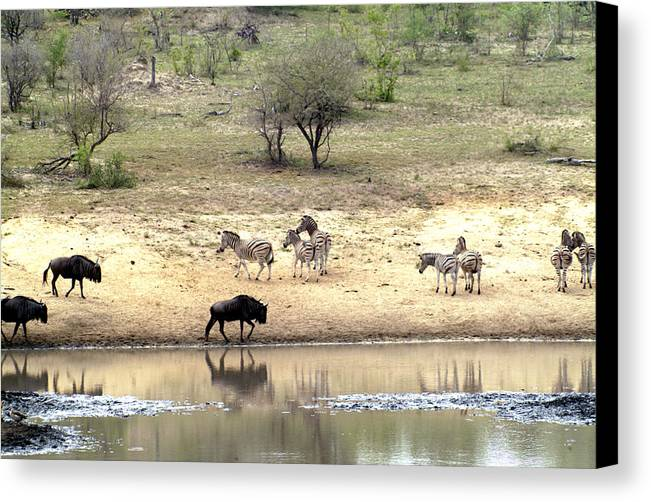 Zebra Canvas Print featuring the photograph Watering Hole by Charles Ridgway